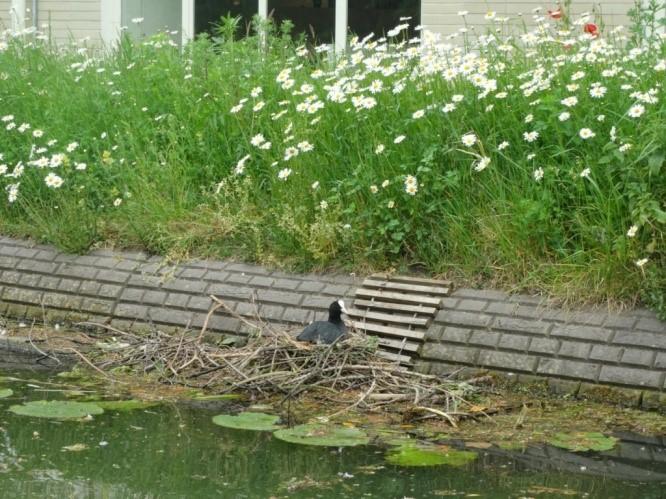 meerkoetennest op SUPfup Stadsschouwburg, mei 2019